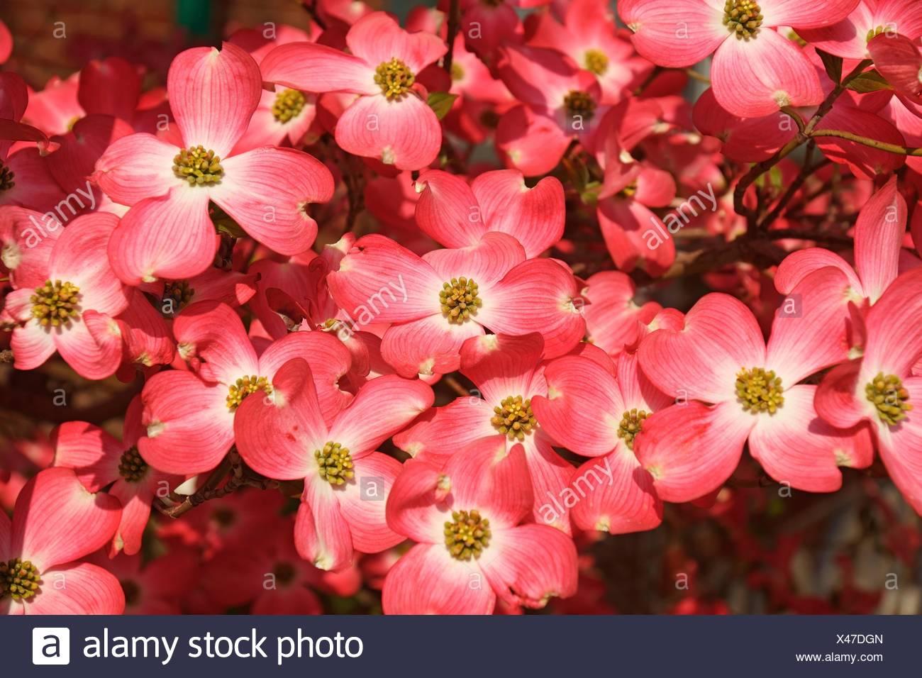 Flowering Dogwood (Cornus florida). Called American Dogwood and Eastern Dogwood also. State tree of North Carolina, West Virginia, Missouri and Stock Photo