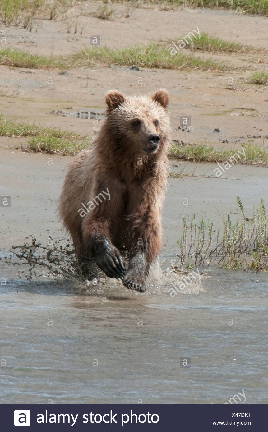 Brown Bear chases fish on a beach in Chinitna Bay, Lake Clark National Park, Southcentral Alaska, Summer Stock Photo
