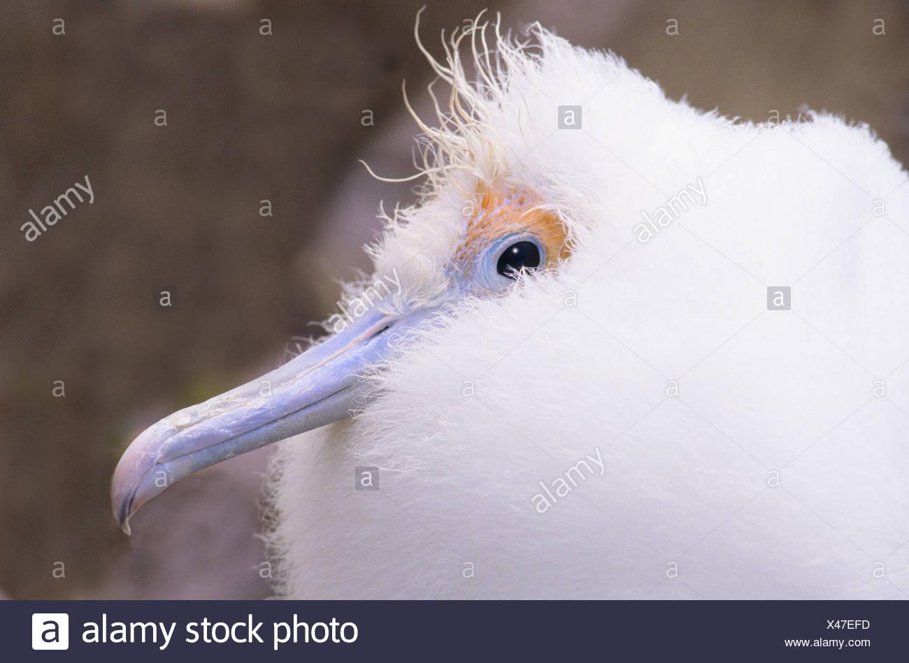 Great frigatebird chick (Fregata minor), Tower island (aka Genovesa Island), Galapagos Archipelago, Ecuador - Stock Image