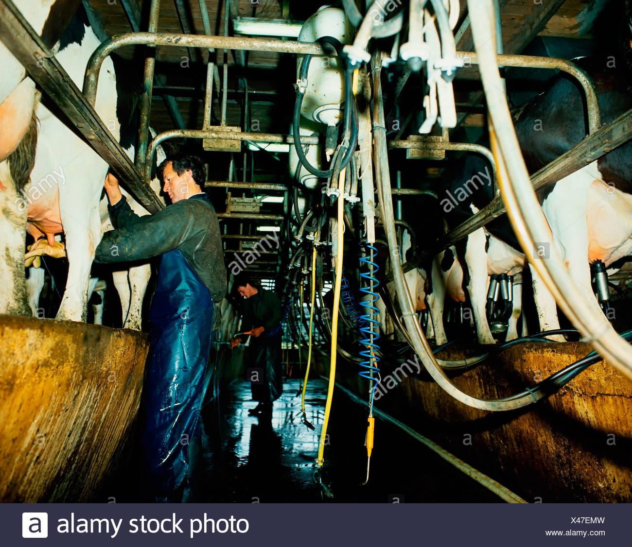Milking Parlour, Ireland - Stock Image