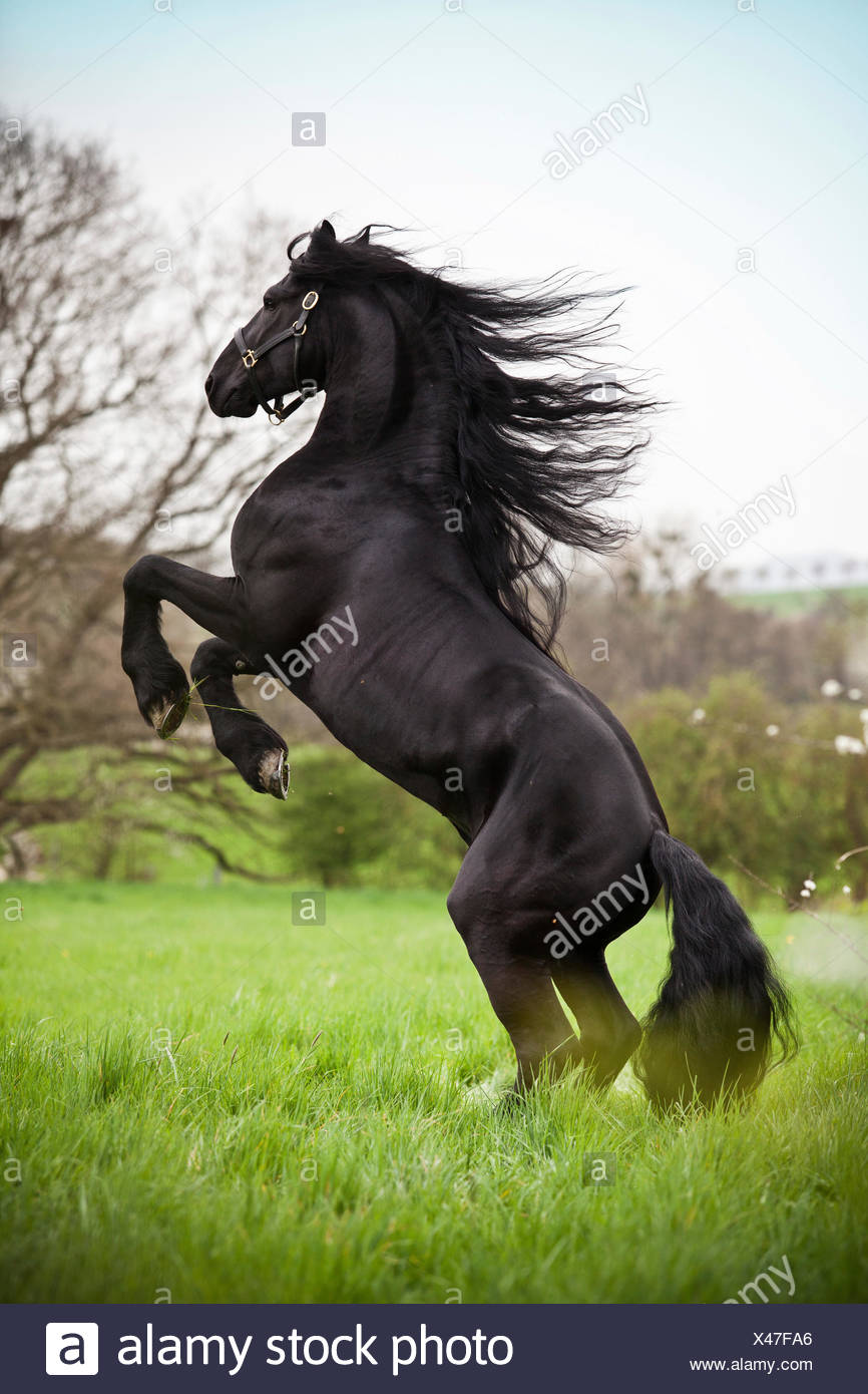 "Friesian or Frisian horse, stallion on a meadow, ""pesade"" dressage position, airs above the ground Stock Photo"