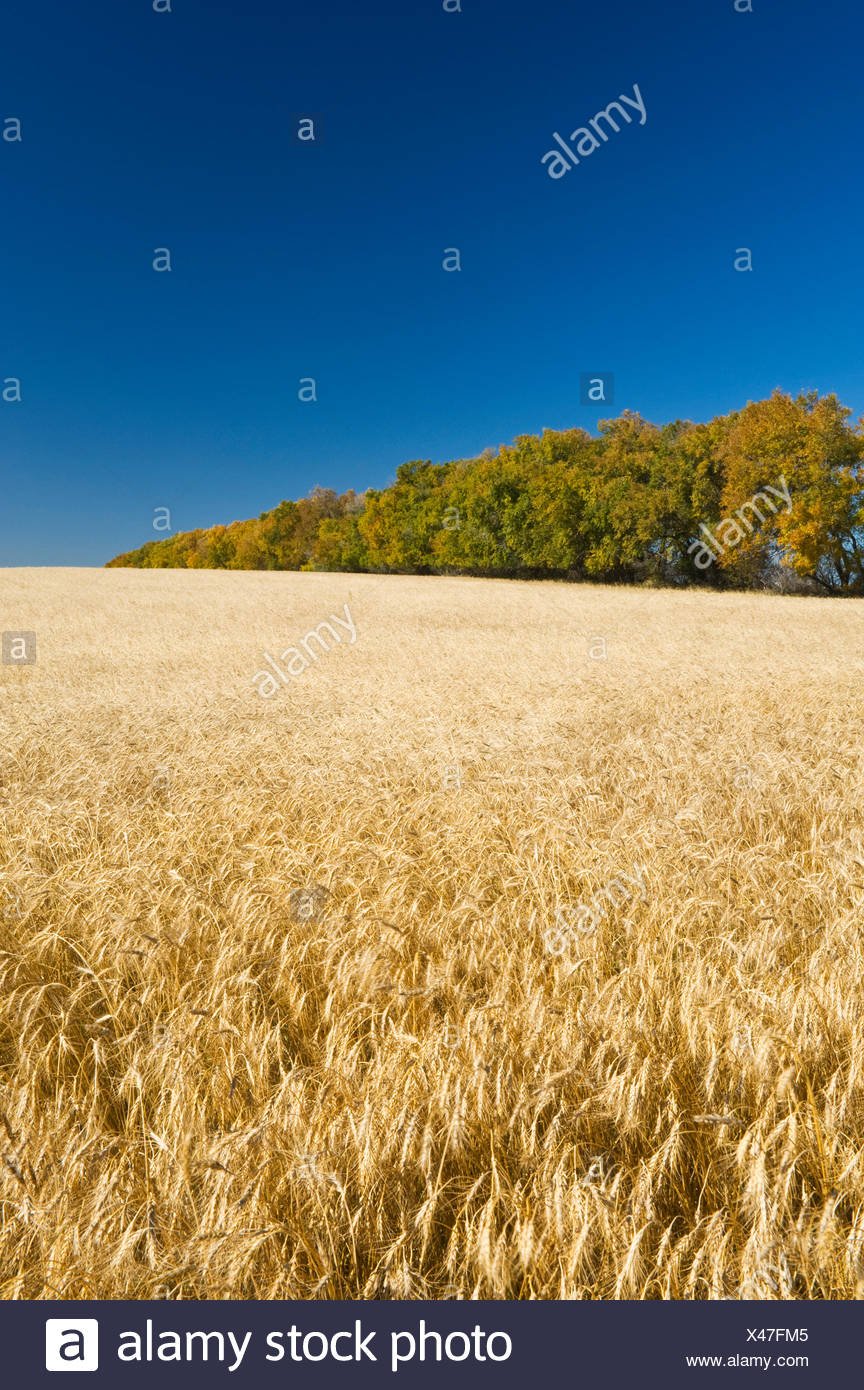 wheat field with shelterbelt in the background, near Central Butte, Saskatchewan, Canada - Stock Image