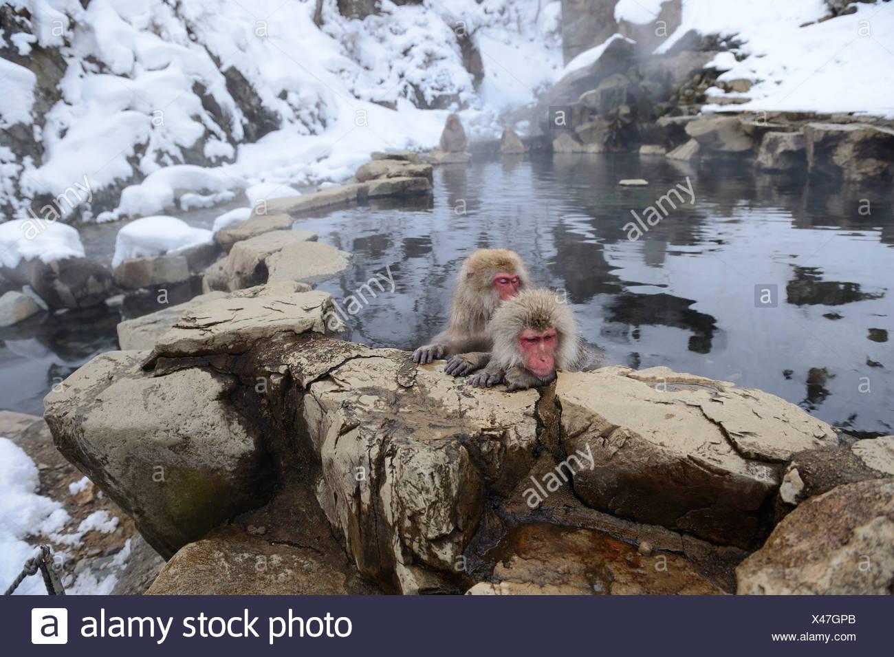 Japanese Macaques or Snow Monkeys (Macaca fuscata), taking a bath in a hot spring, Affenpark Jigokudani, Nagano Präfektur - Stock Image
