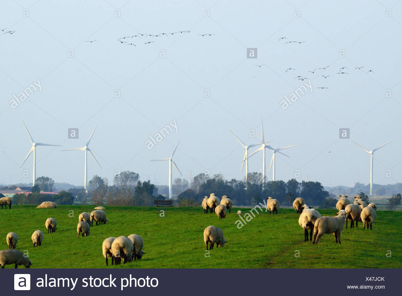 flock of sheep, wind wheels in the background and wild geese in the sky, Germany, Lower Saxony - Stock Image