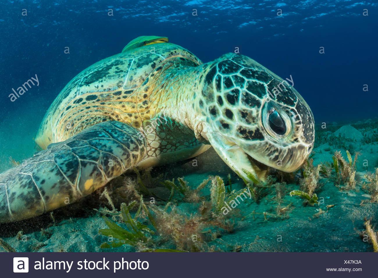 Feeding Green Sea Turtle, Chelonia mydas, Marsa Alam, Red Sea, Egypt - Stock Image