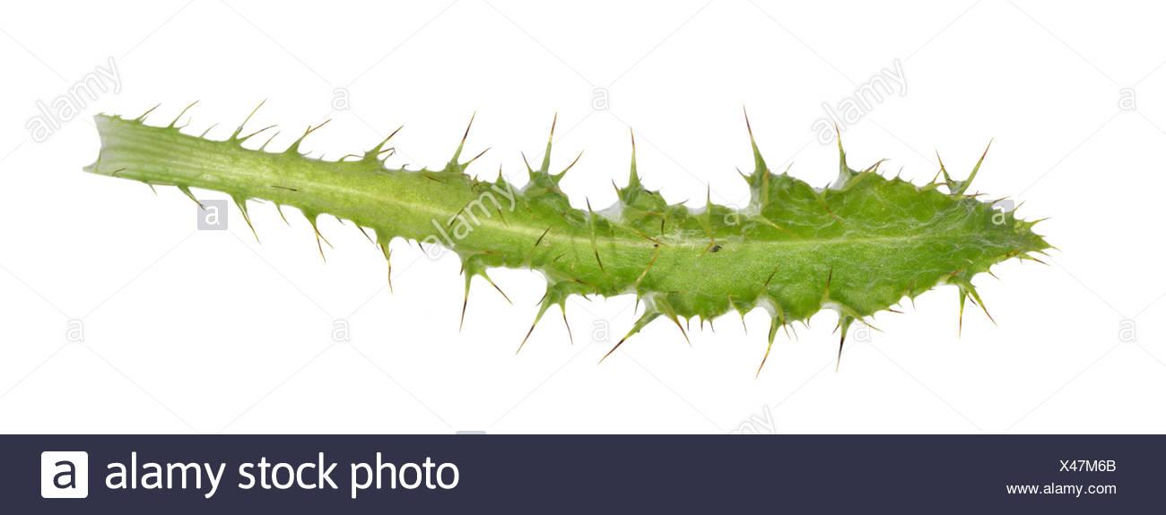 Carline Thistle - Carlina vulgaris - Stock Image