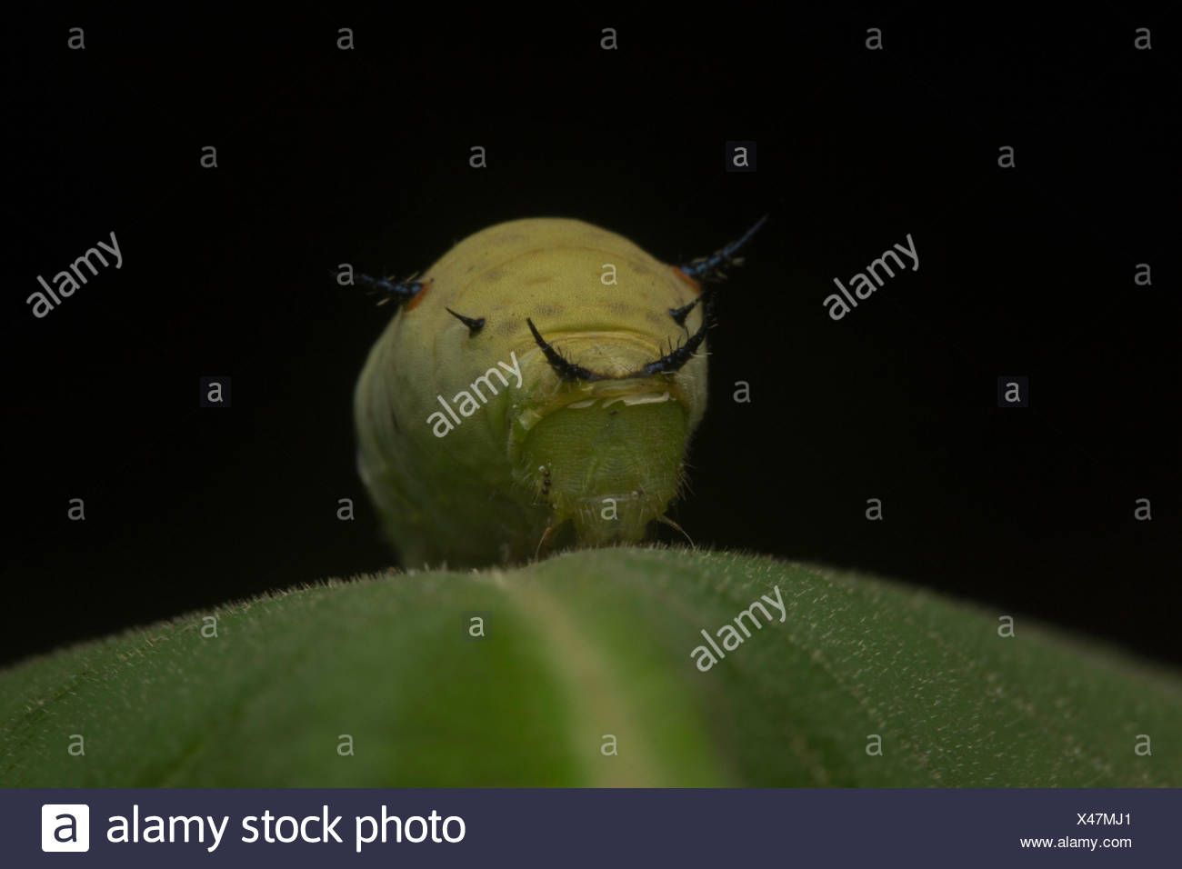 Butterfly caterpillar, Aarey Milk Colony , INDIA. All butterflies have complete metamorphosis. To grow into an adult they go through 4 stages: egg, la - Stock Image