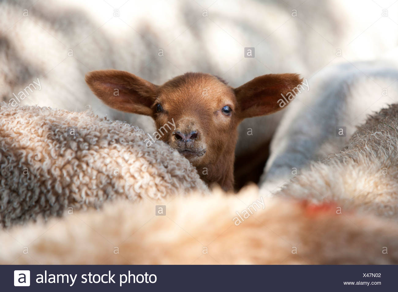 domestic sheep (Ovis ammon f. aries), brown lamp looking out between sheep, Germany Stock Photo