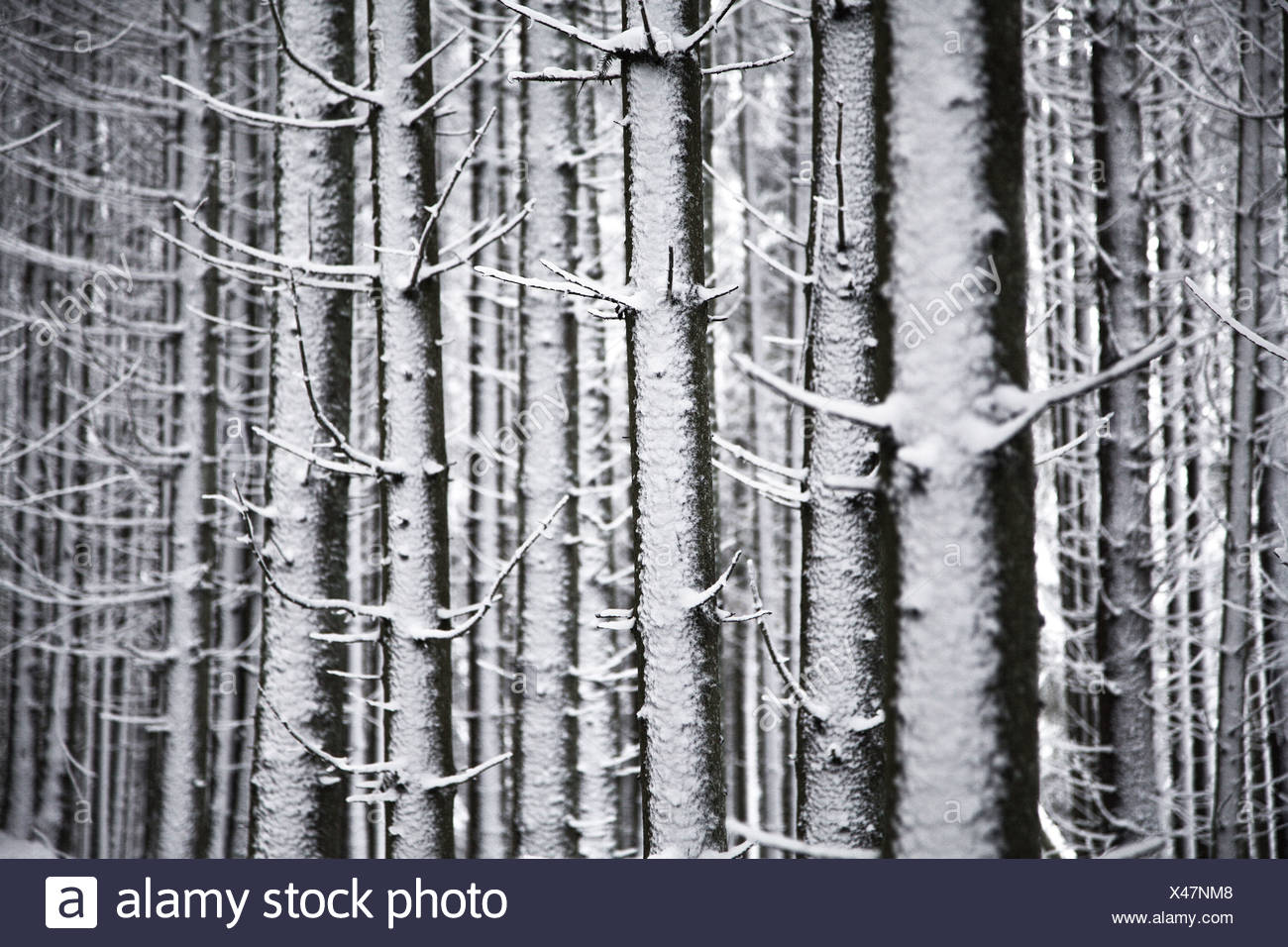 Snow-covered Spruces (Picea) in winter, Black Forest, Baden-Wuerttemberg, Germany, Europe Stock Photo
