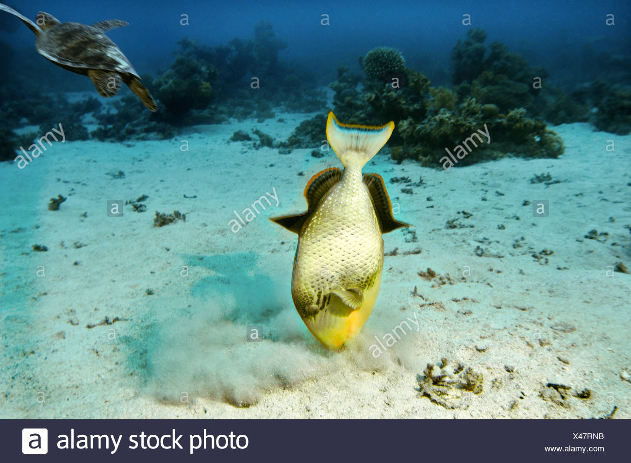 Middle East Red Sea Yellow margin Triggerfish Pseudobalistes flavimarginatus COMPOSING> turtle - Stock Image