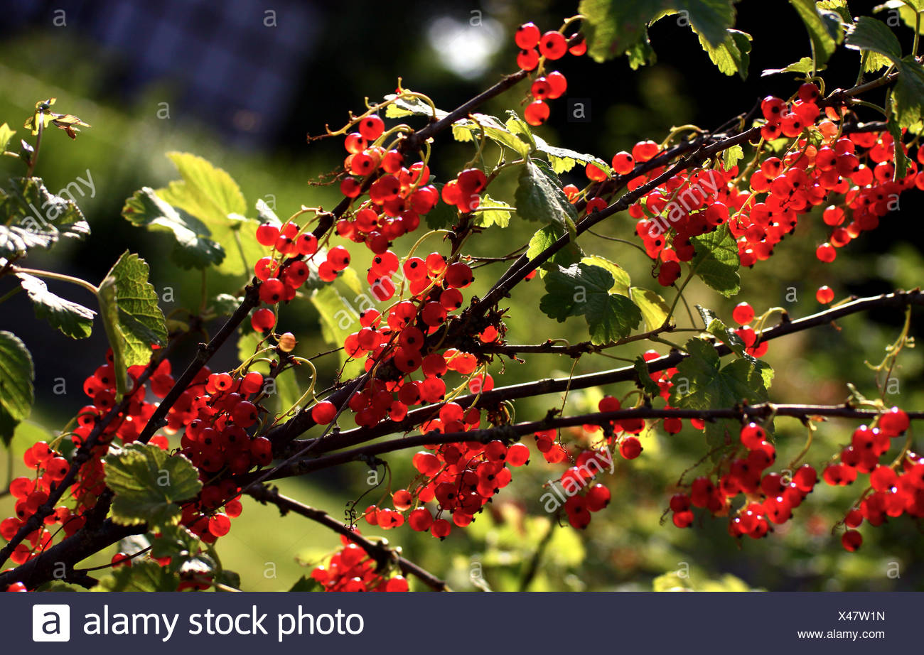 currant,currant bush - Stock Image