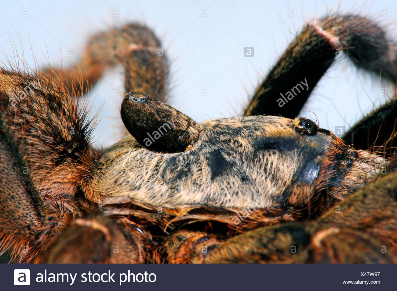 Horned baboon spider, African Rear-horned Baboon, Burst Horned Baboon, Straight Horn Tarantula (Ceratogyrus darlingi, Ceratogyrus bechuanicus, Ceratogyrus schultzei), detail of the horn Stock Photo