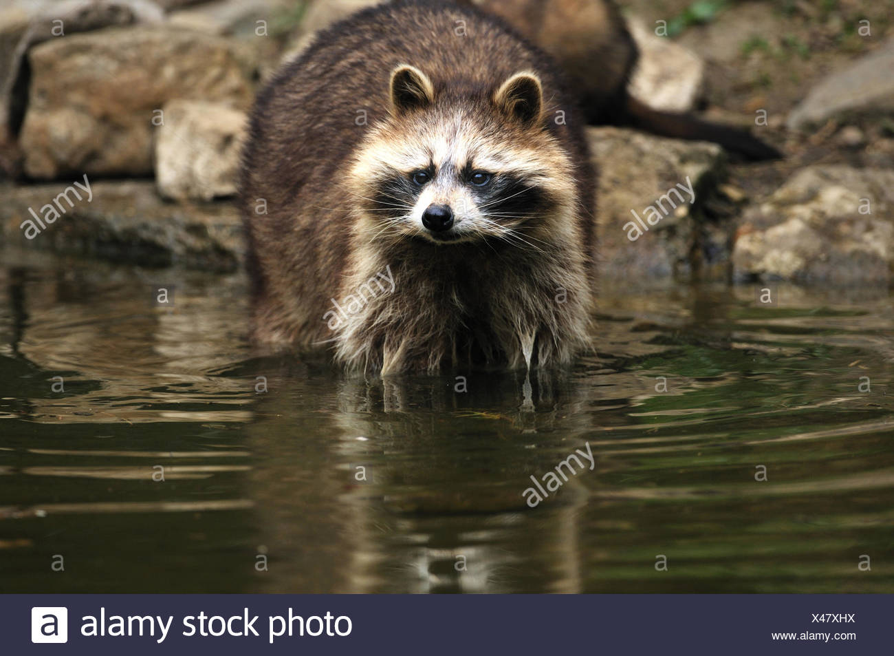 Racoon Canids Predator Small Bear North American Procyon Lotor Racoons Foraging Water Fur Animal