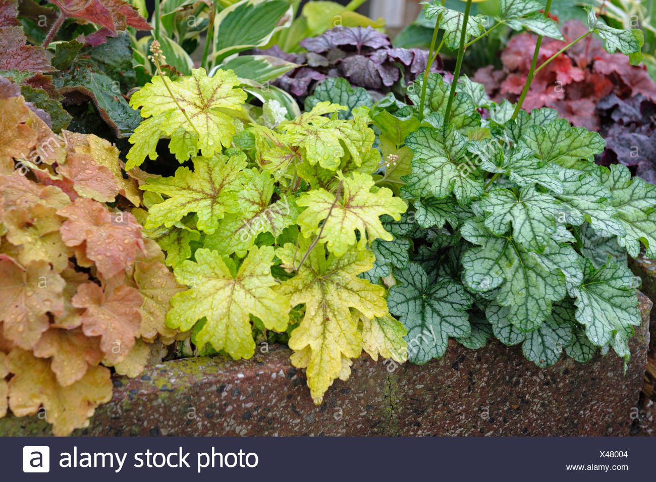 Heucherella (Heucherella spec.), cultivars Alabama Sunrise, Green Spice, Caramel - Stock Image