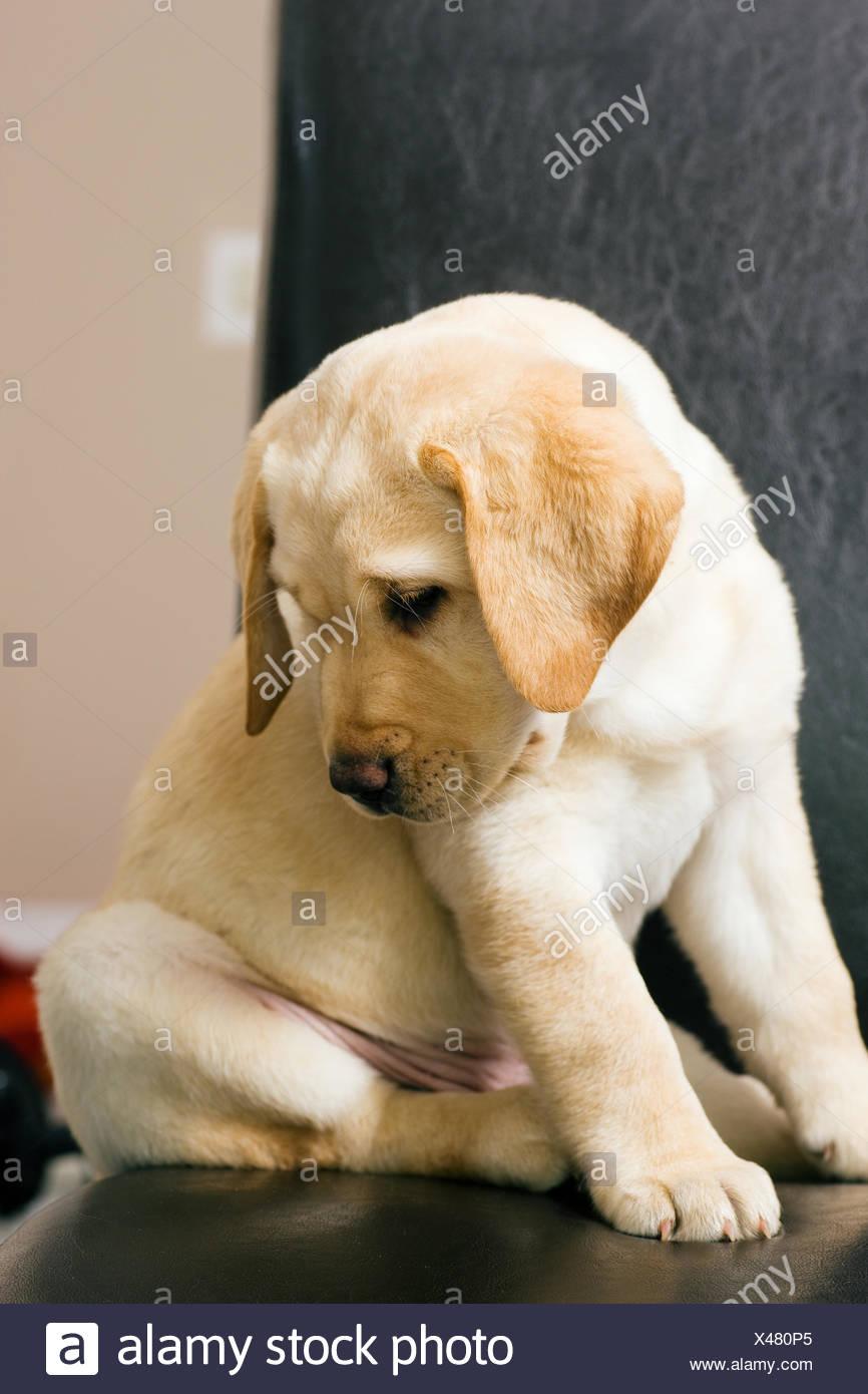 Pet Dog Puppy Cute Labrador More Retriever Sleep Sleeping Tired Young Younger Stock Photo Alamy