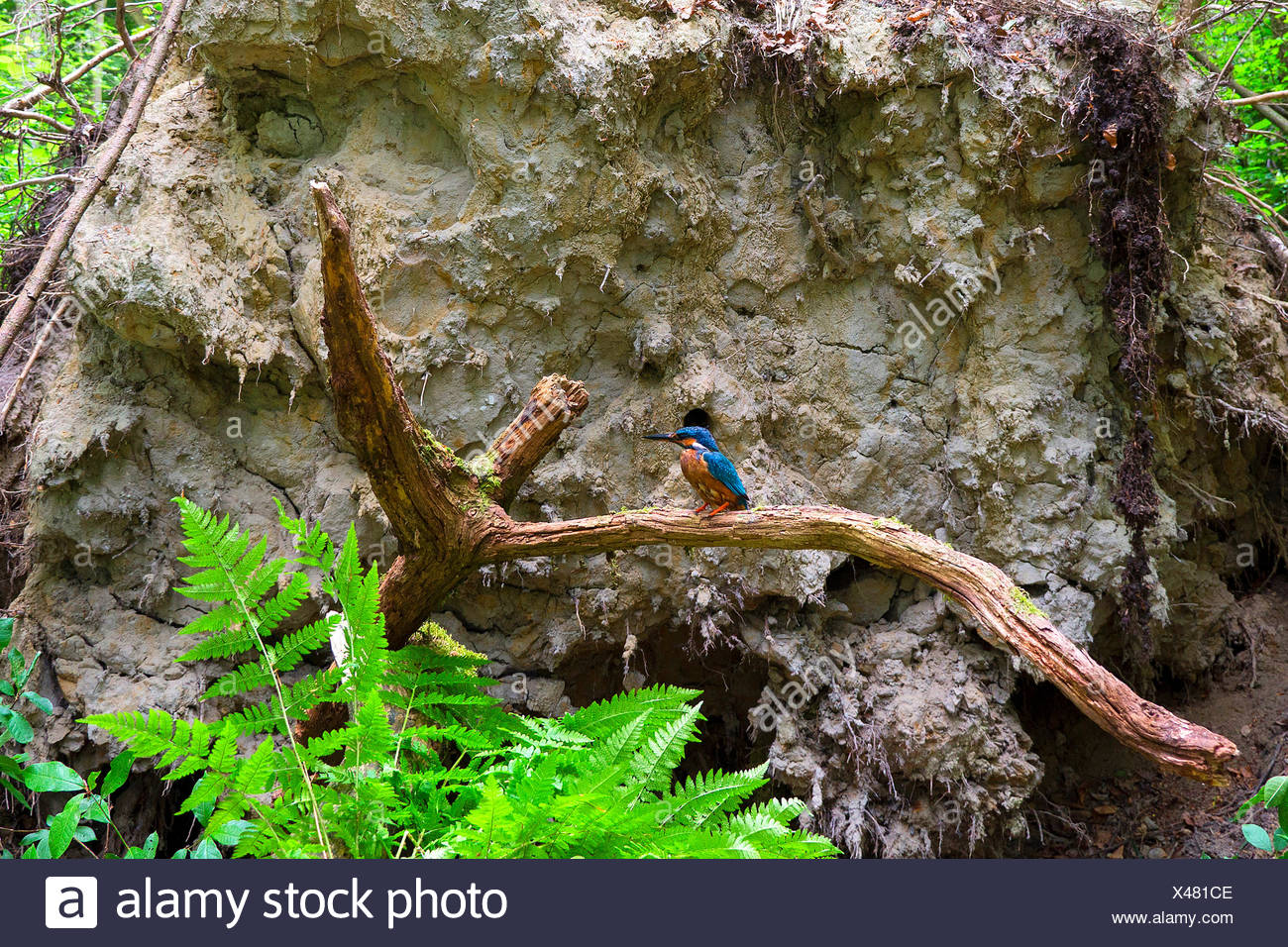 river kingfisher (Alcedo atthis), in front of the breeding cave in the roots of a fallen tree, Germany, North Rhine-Westphalia - Stock Image