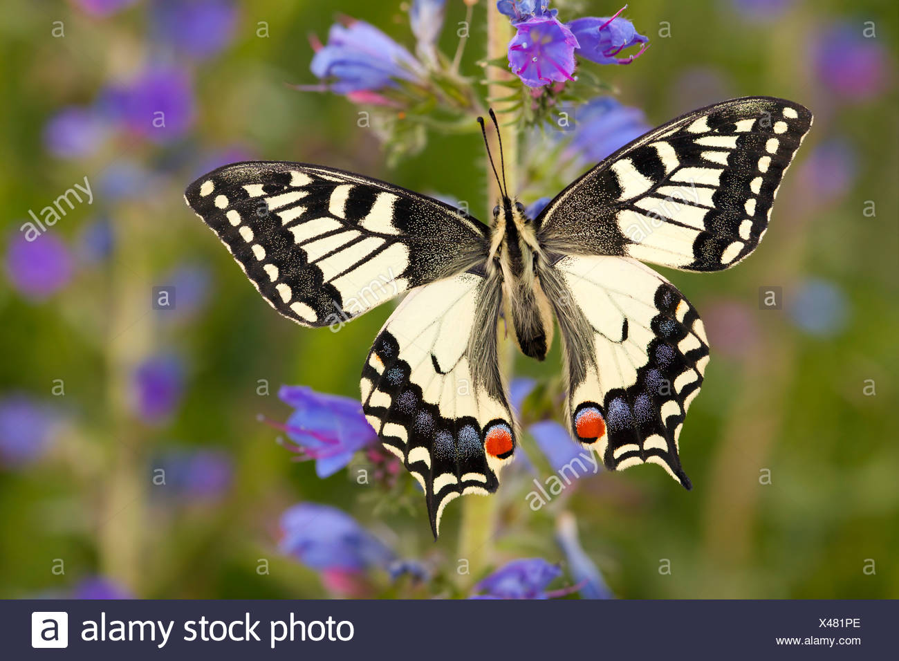 Common Swallowtail butterfly feeding on Viper's Bugloss / Blueweed in alpine meadow. Nordtirol, Tirol, Austrian Alps - Stock Image
