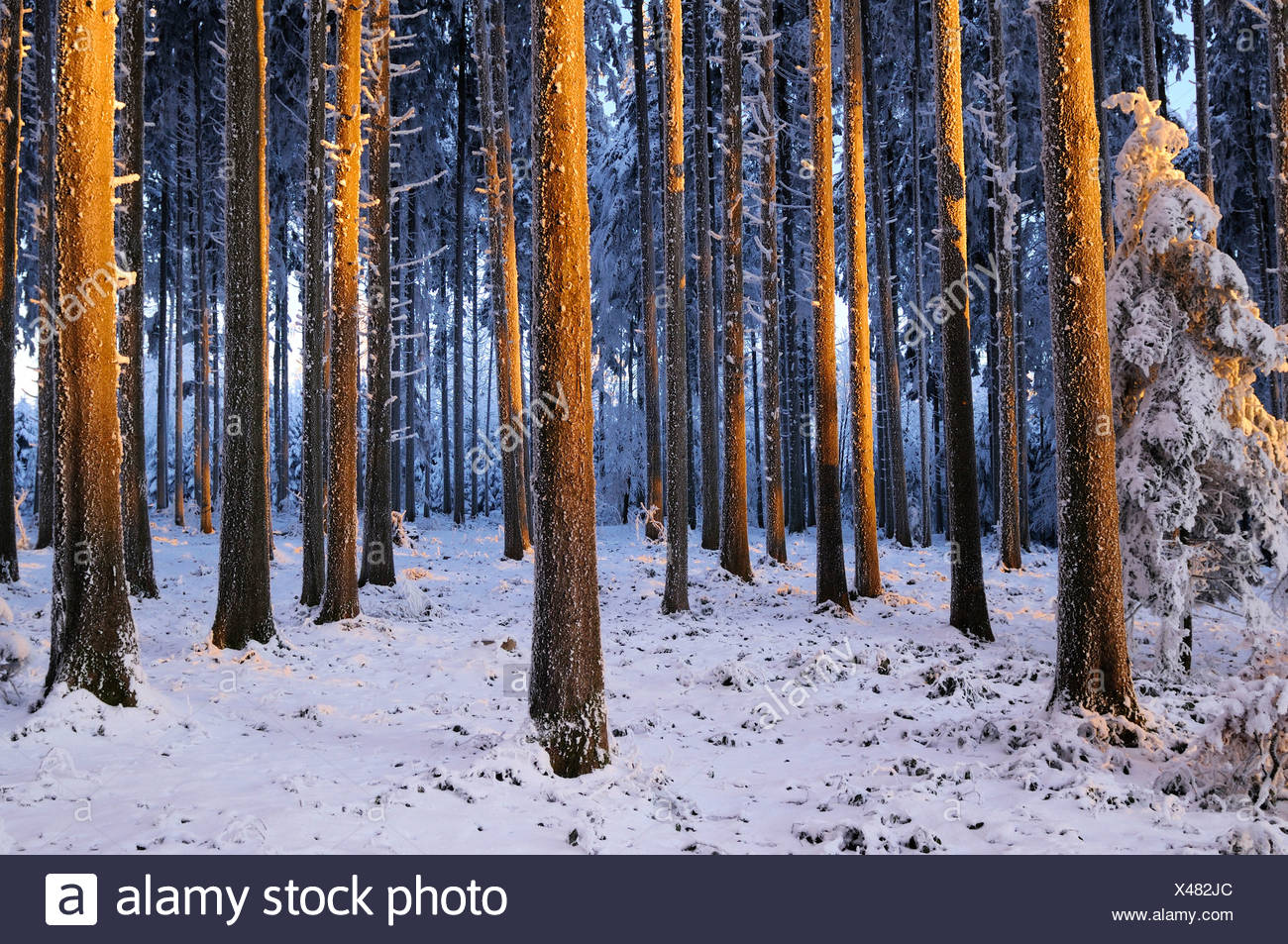 Spruce forest in the light of the setting sun Stock Photo