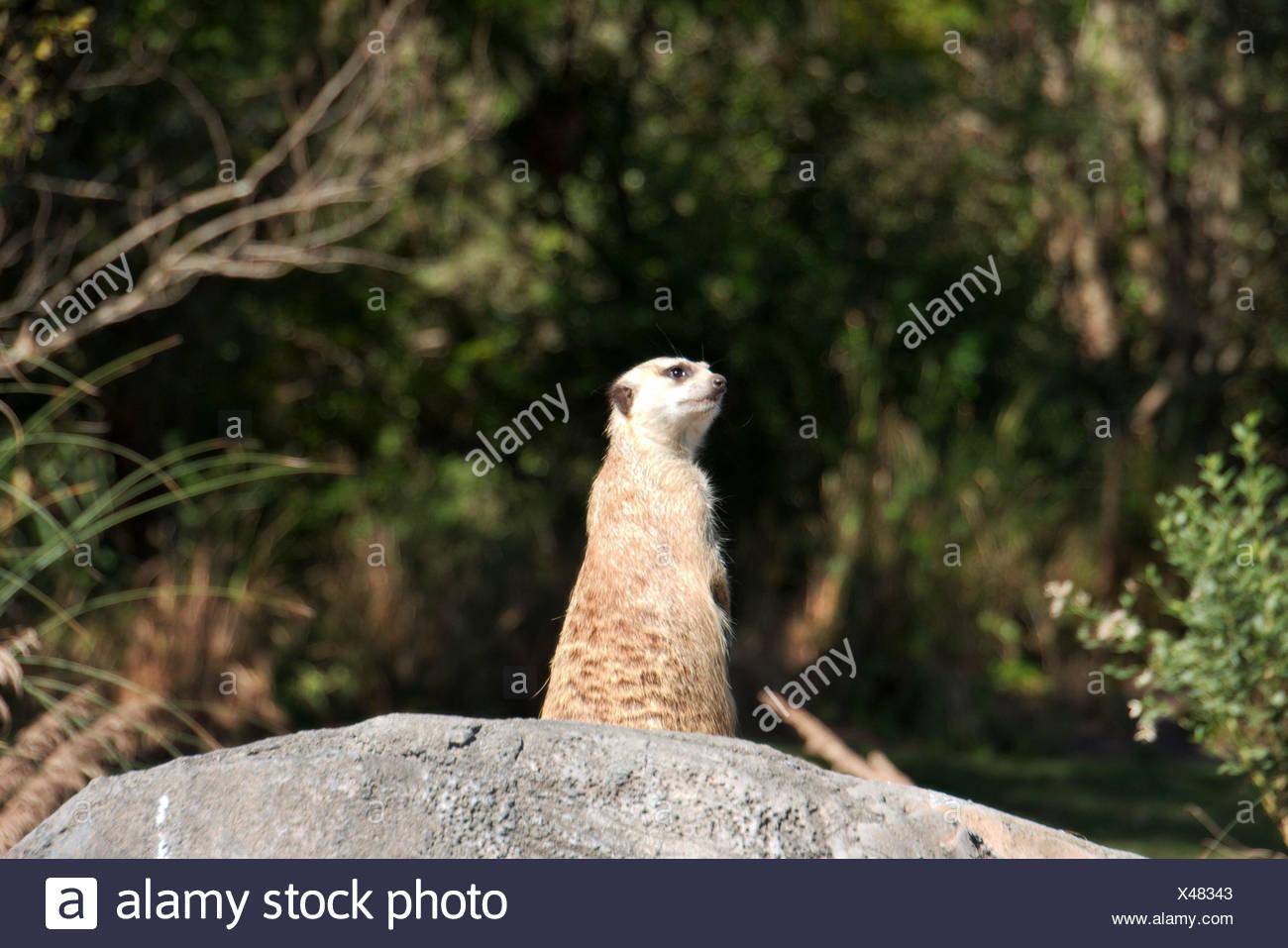 animal mammal guard wildlife maddening pert coquettish cute meerkat meerkats - Stock Image