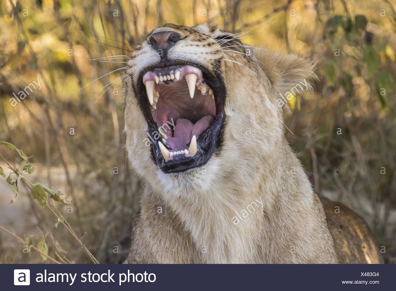 Lion, (Panthera leo) yawning - Stock Image