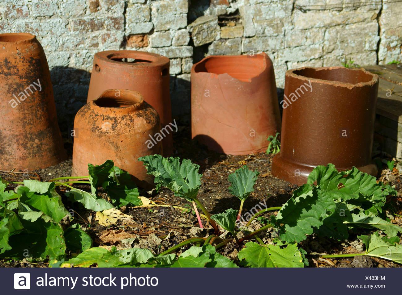 Rhubarb, Rheum rhabarbarum. - Stock Image