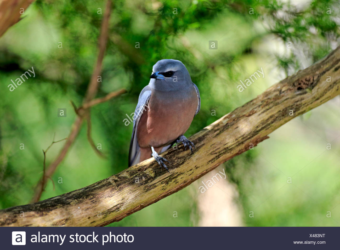 White-browed woodswallow (Artamus superciliosus), adult on tree, South Australia, Australia - Stock Image