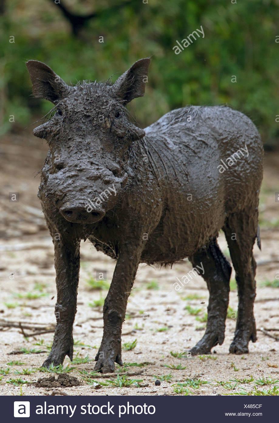 Cape warthog, Somali warthog, desert warthog (Phacochoerus aethiopicus), quite filthy warthog, Tanzania, Lake Manyara National Park - Stock Image