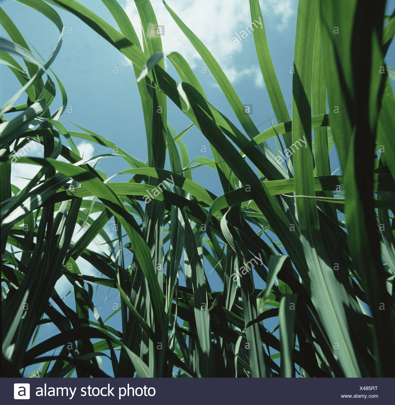 Maturing elephant grass Miscanthus sp grown as a crop to provide a sustainable fuel source - Stock Image