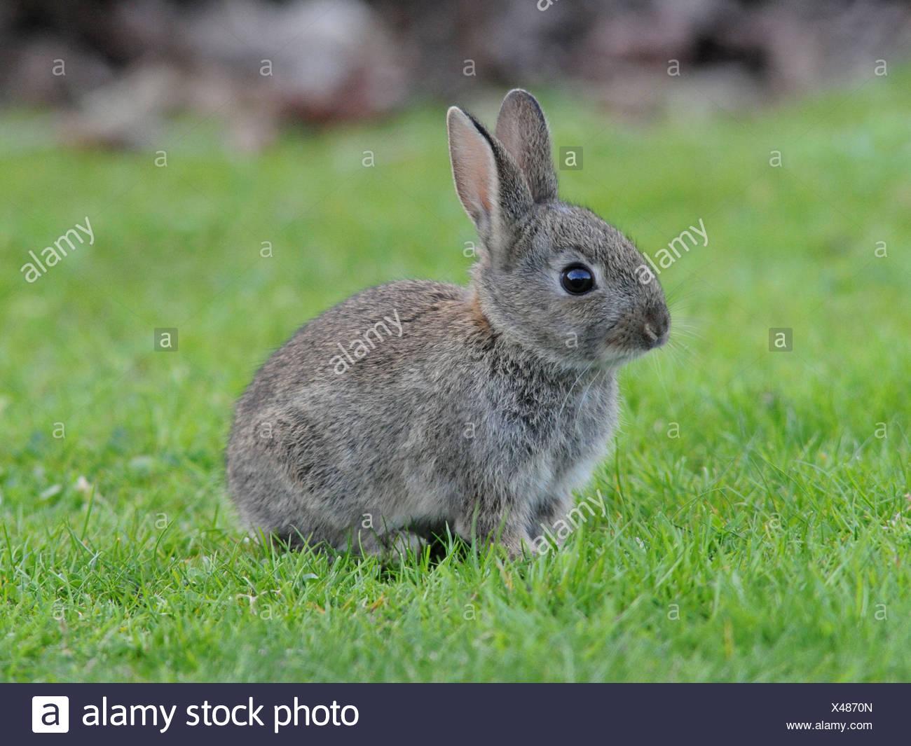 A small wild grey baby rabbit. - Stock Image