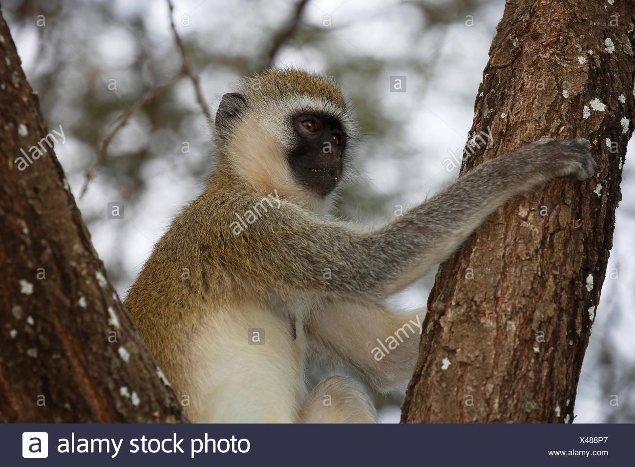 Suedliche Gruene Meerkatze (Chlorocebus pygerythrus), Lake Manyara Nationalpark, Tansania, Afrika - Stock Image