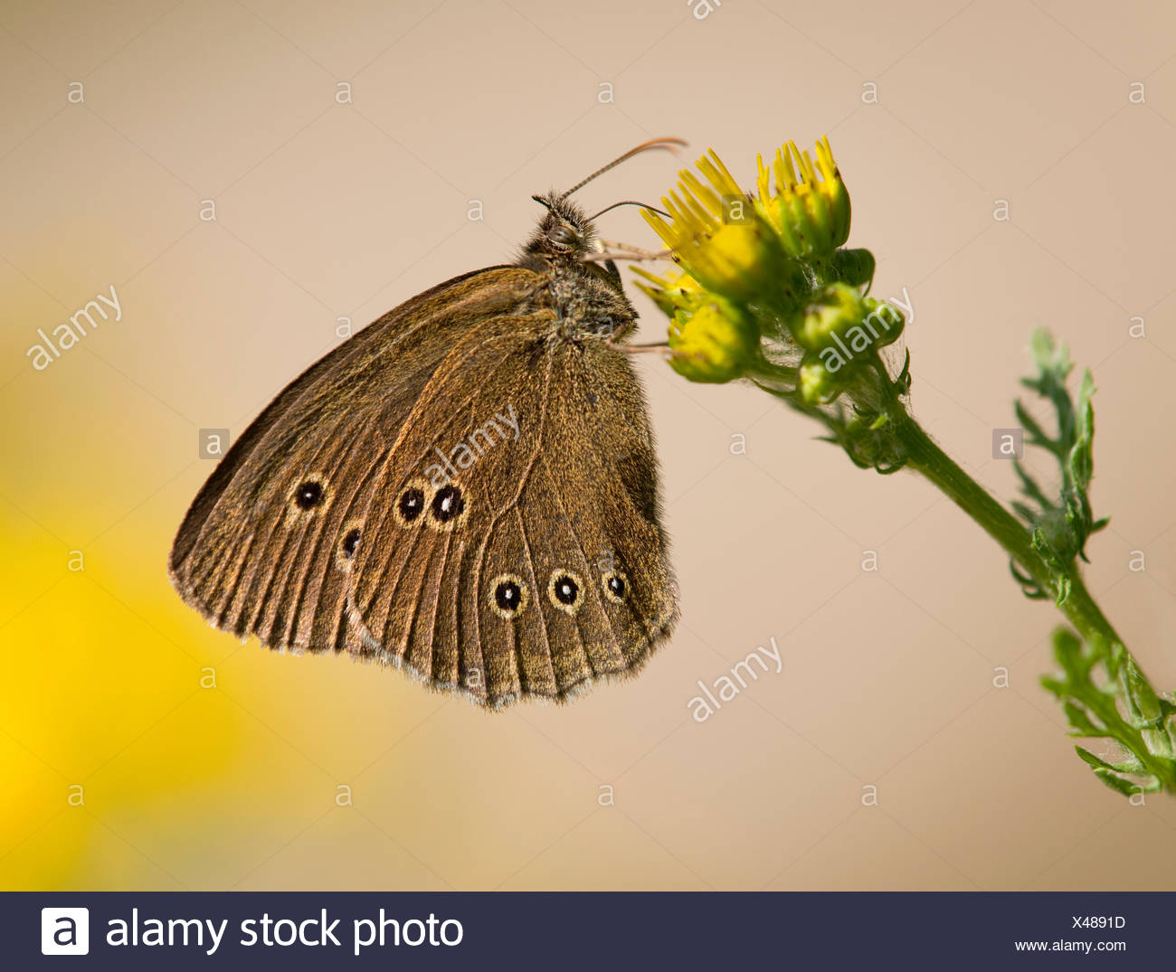 Ringlet (Aphantopus hyperantus) sucking nectar, Lower Saxony, Germany - Stock Image