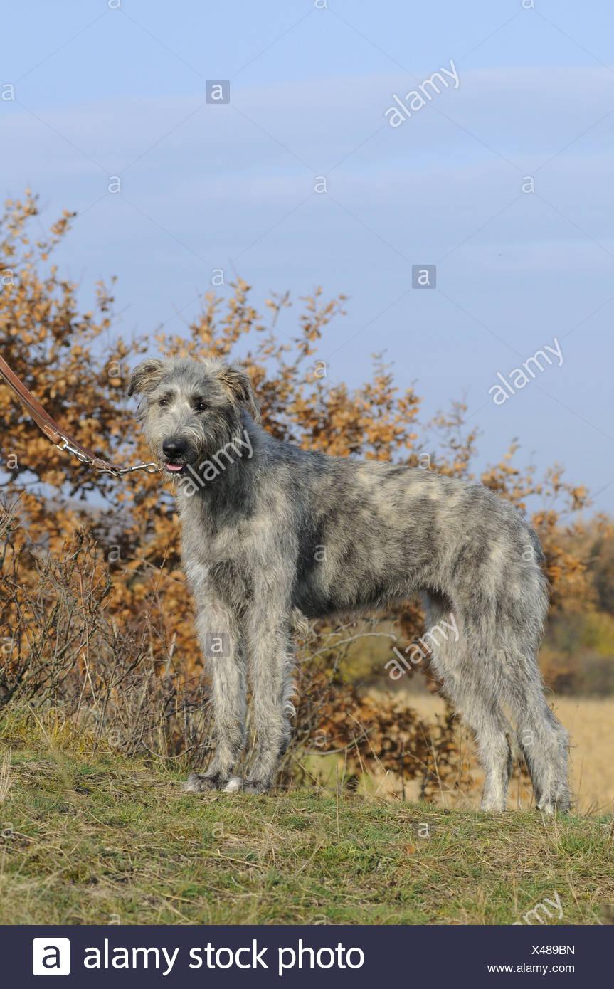 irish wolfhound stock photos  u0026 irish wolfhound stock images