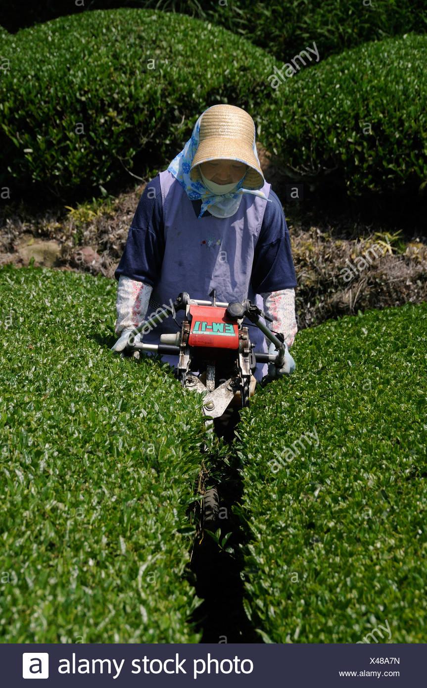 Tea farmer working at a tea plantation, mechanically cutting free the working trails, Sagara, Shizuoka Prefecture, Japan, Asia - Stock Image
