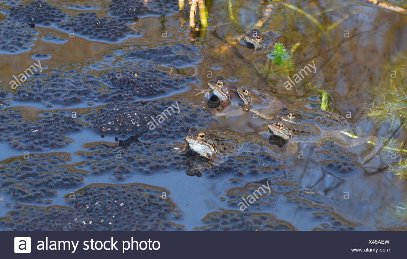 common frogs between frog spawn during mating - Stock Image
