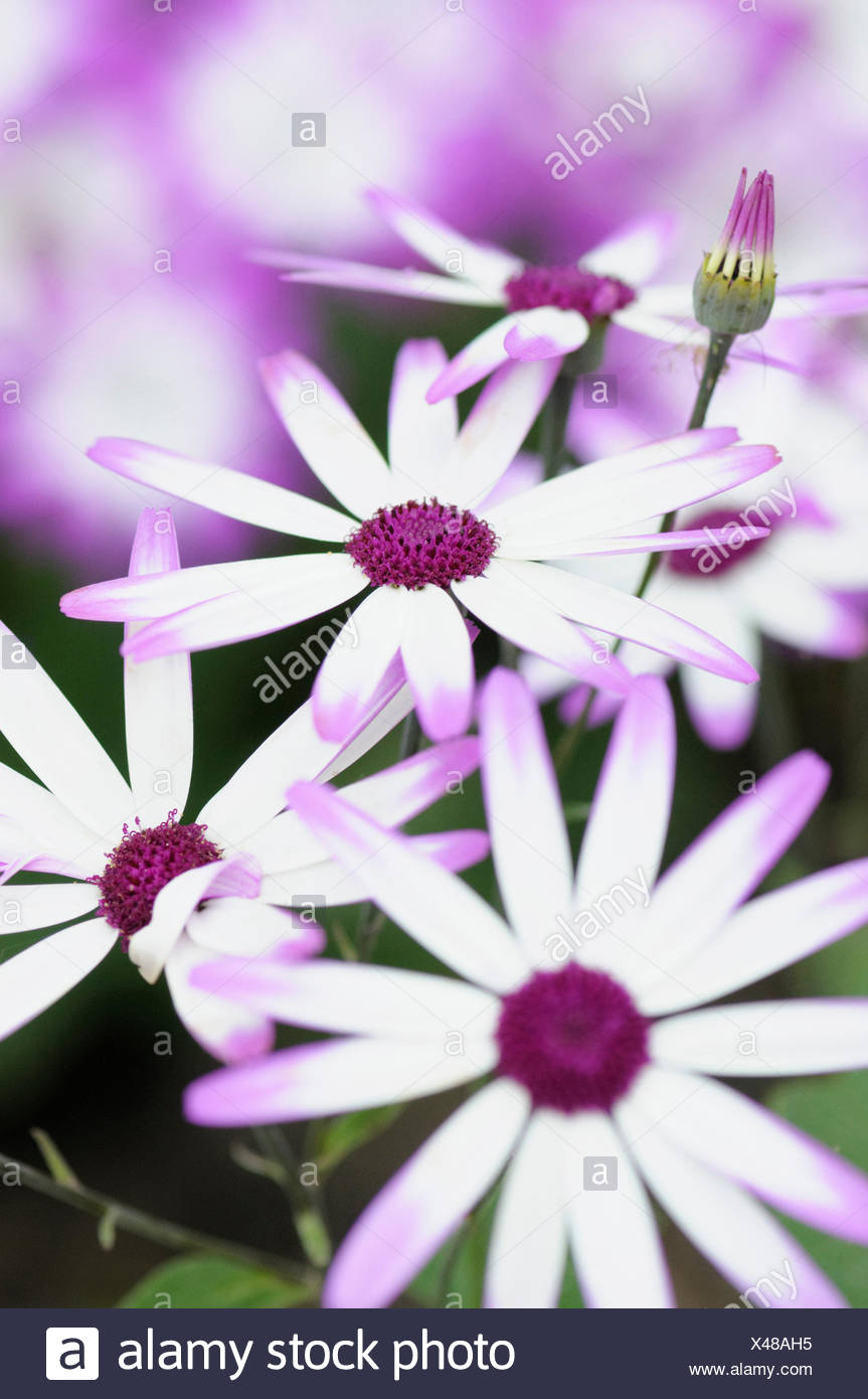 Senetti, Pericallis x hybrida 'Senetti Magenta Bicolor', Close view of white flowers with pink purple tipped petals, others soft focus behind. - Stock Image