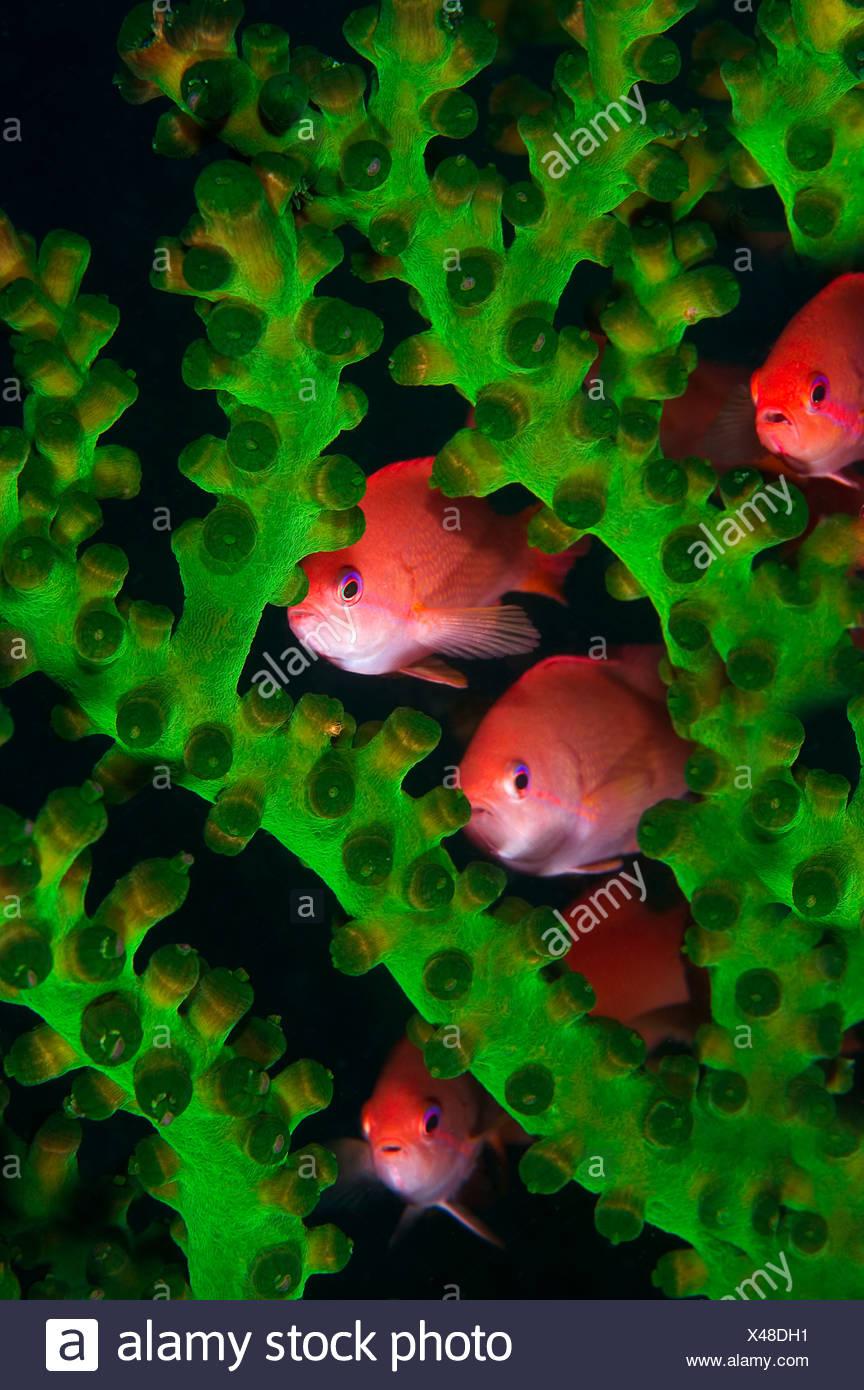 Jewel fairy basslet lyretail anthias hide in coral Pseudanthias squamipinnis Komodo Flores Sea Indonesia Stock Photo