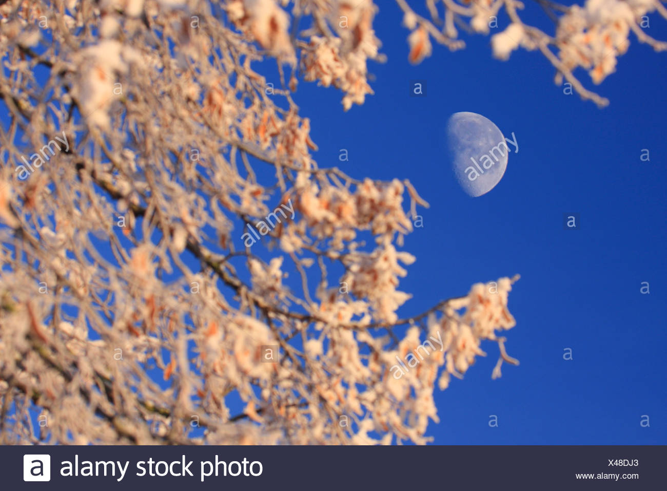 forest winter moonshine moon Switzerland Europe nature trees tree snow blue sky branches hoarfrost cold - Stock Image