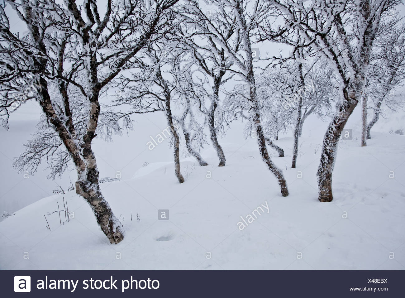Bare trees in snow - Stock Image