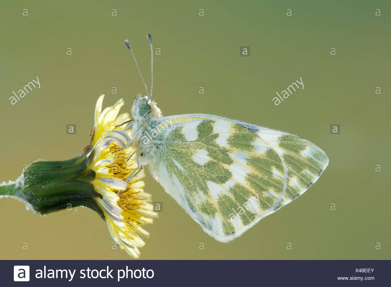 Bath White Butterfly, Pontia daplidice, South West Europe & North Africa, side view of wings on flower, occurs in the Palearctic region. It is common  - Stock Image