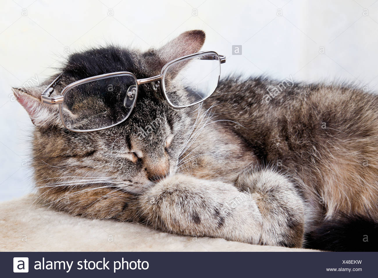 Domestic cat wearing spectacles, close-up - Stock Image
