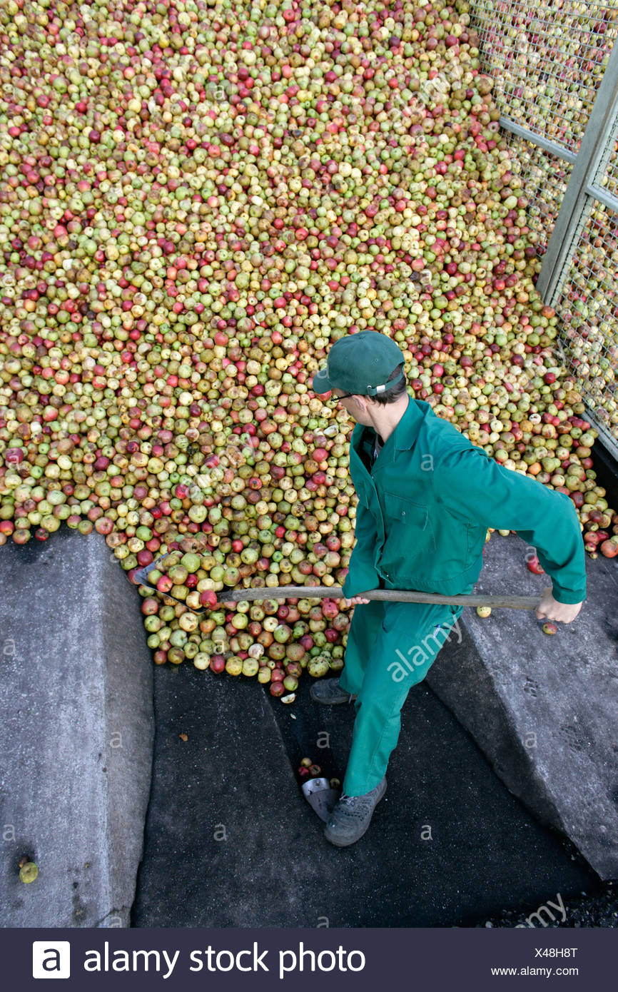 An employee towering up the delivered apples into a mountain of apples at the Emil Jacoby fruit juice press house in Auggen, Ba - Stock Image