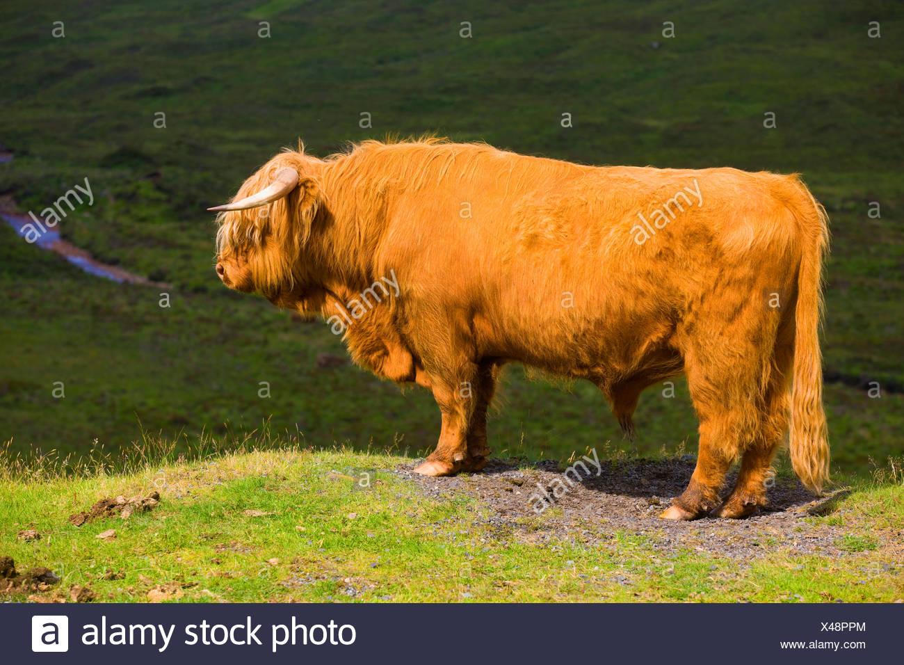 Sconser, highland bovine animal, Great Britain, Scotland, Europe, mammal, domestic animal, pet, Scottish highland bovine animal, - Stock Image