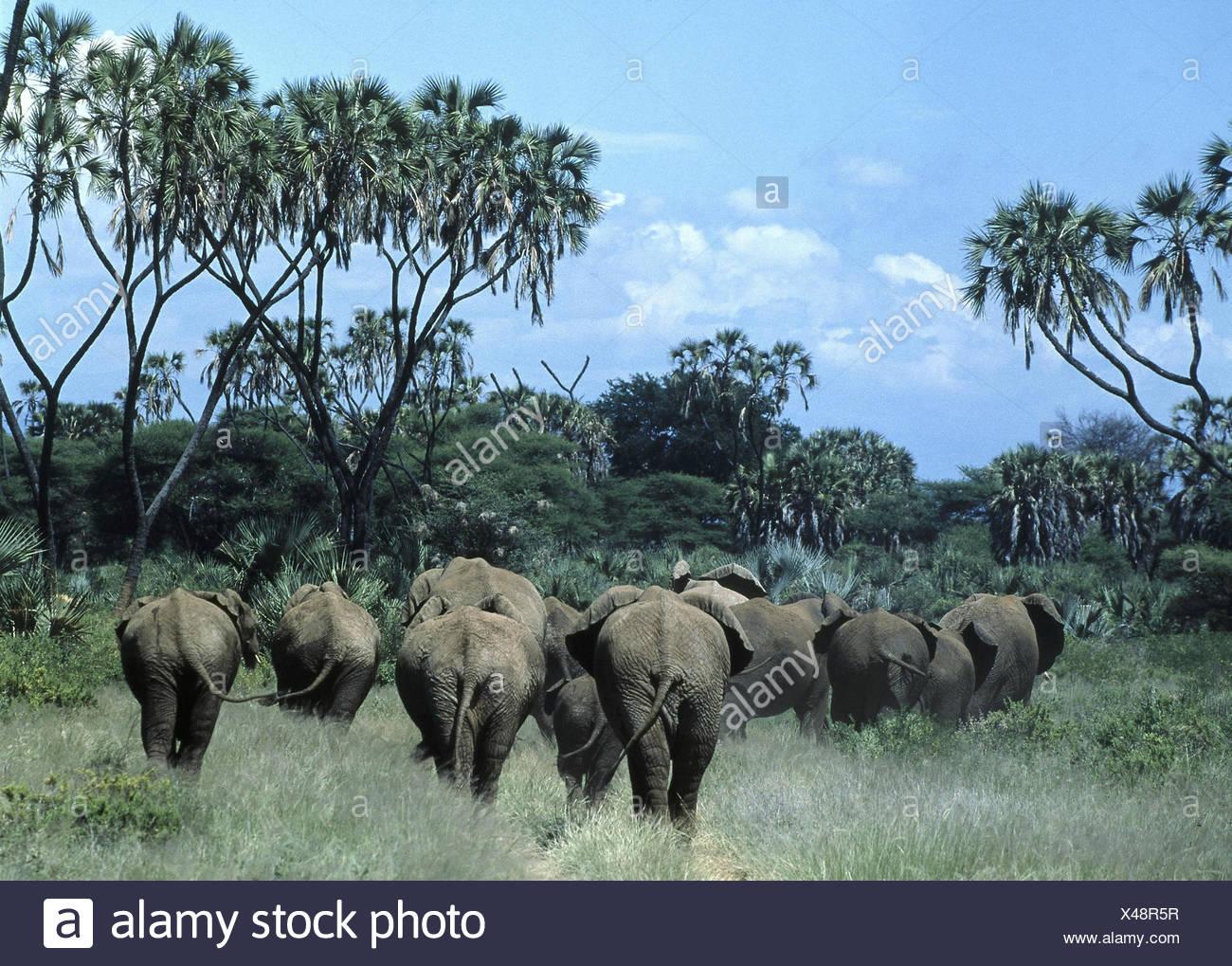 Landschaft, Afrikanische Elefanten,  Loxodonta africana, Rückenansicht  Elefant, Herde, Rüsseltier, Landsäugetier, Säugetier,  Stoßzähne, Elfenbein, D Stock Photo