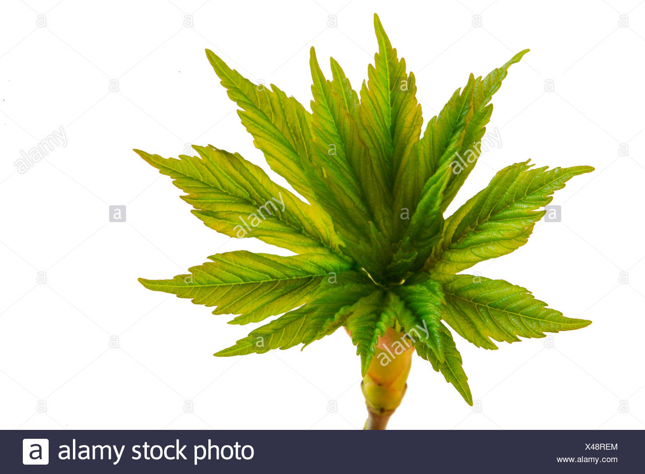 Fresh green of a maple tree (Acer), spring shoots - Stock Image