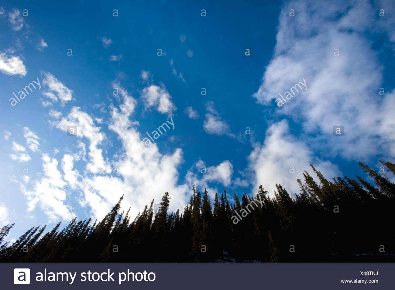 Looking up at evergreen trees - Stock Image