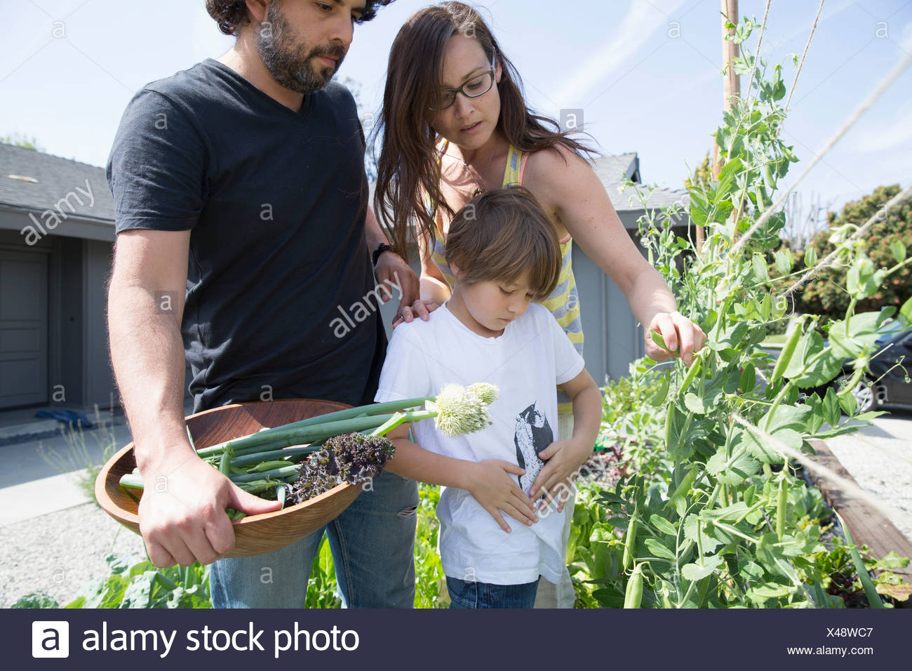 Family with one boy picking peas in garden - Stock Image