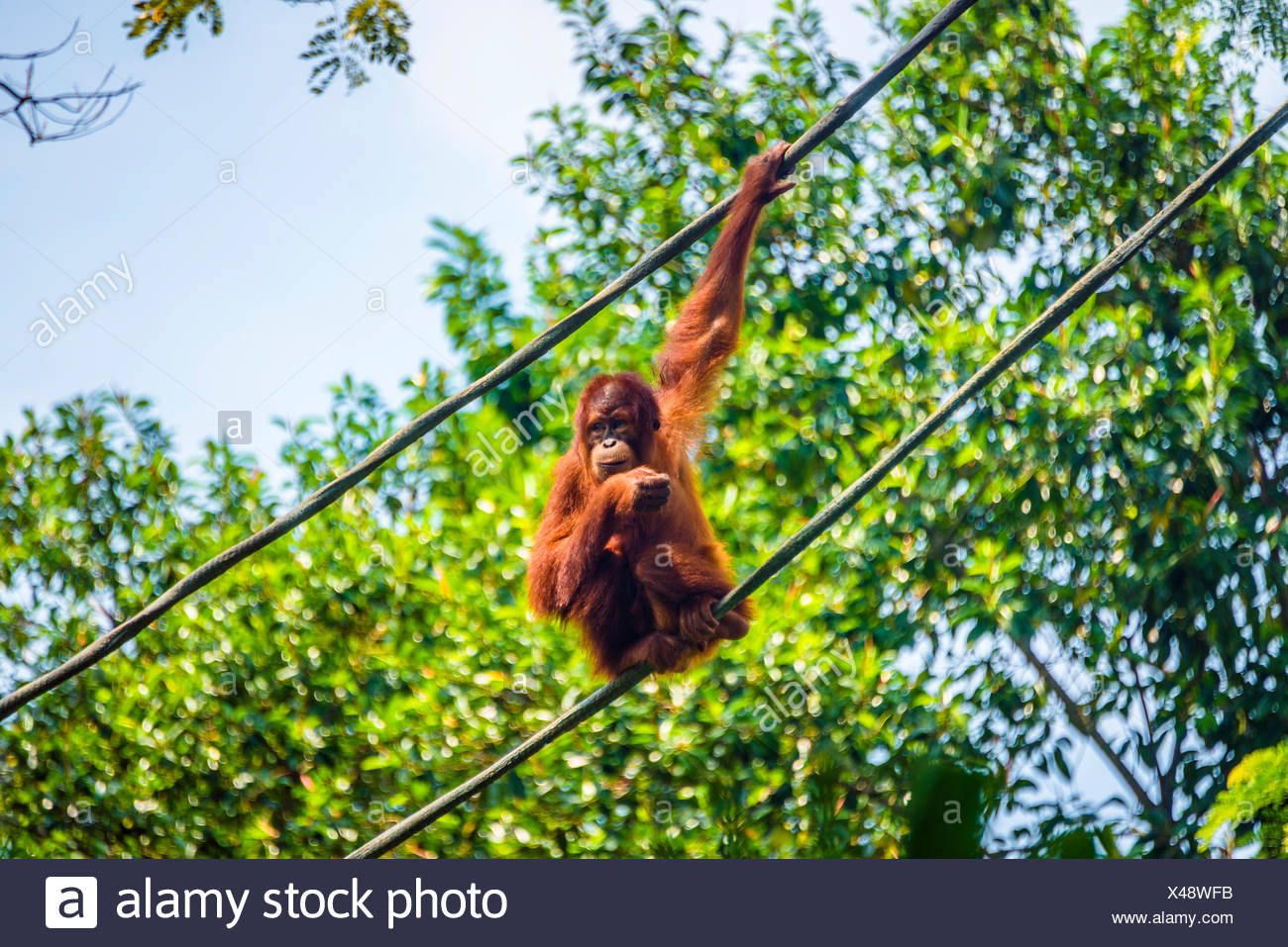 Borneo orangutan (Pongo pygmaeus) sitting on a rope, captive, Singapore zoo, Singapore - Stock Image
