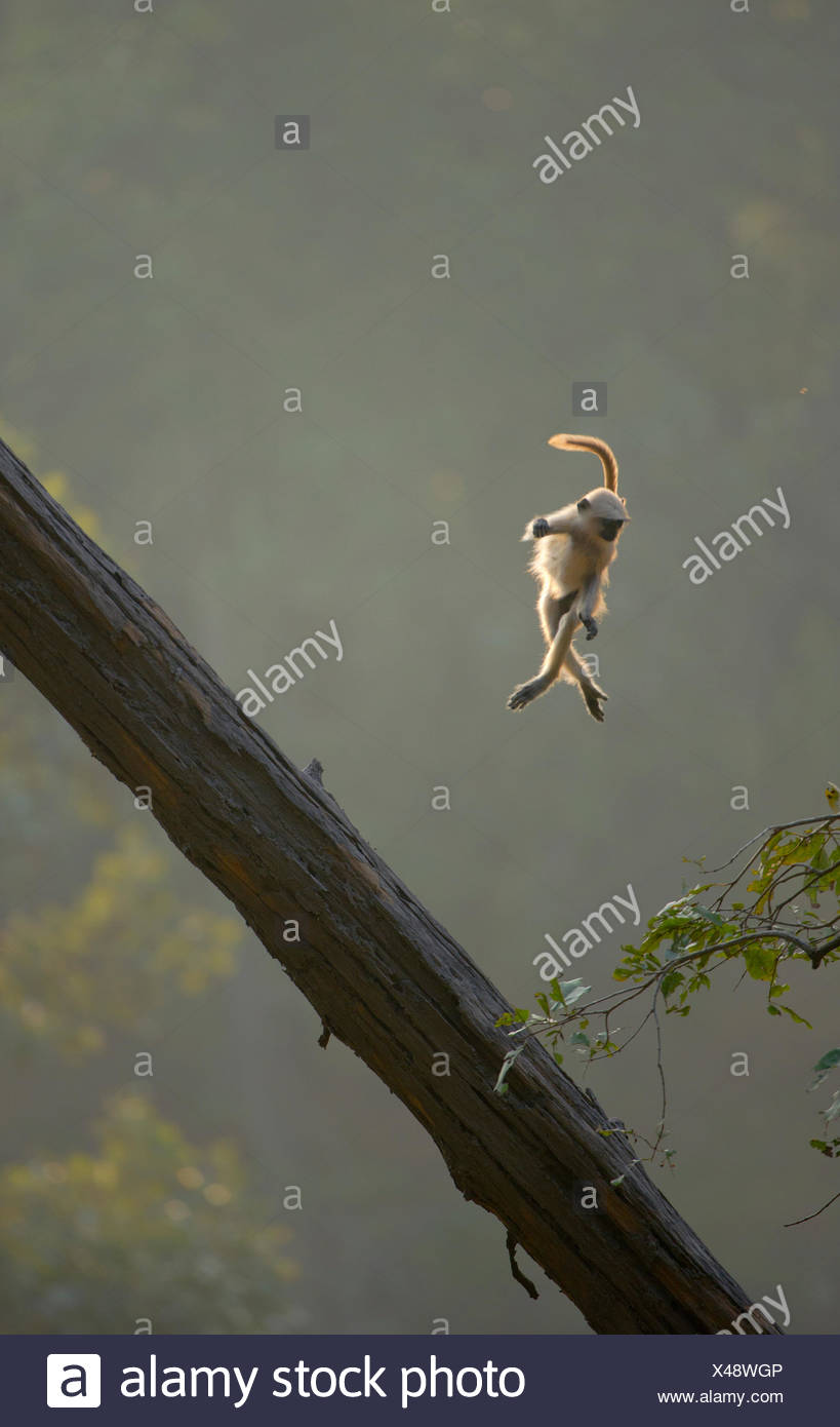 Hanuman / Northern Plains Grey Langur (Presbytis entellus) youngster in mid-air leaping from a sloping tree trunk to a nearby tree sapling. Bandhavgarh National Park, India. Non-ex. - Stock Image