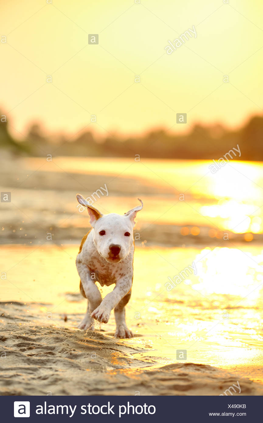 American Staffordshire terrier running on river edge. - Stock Image