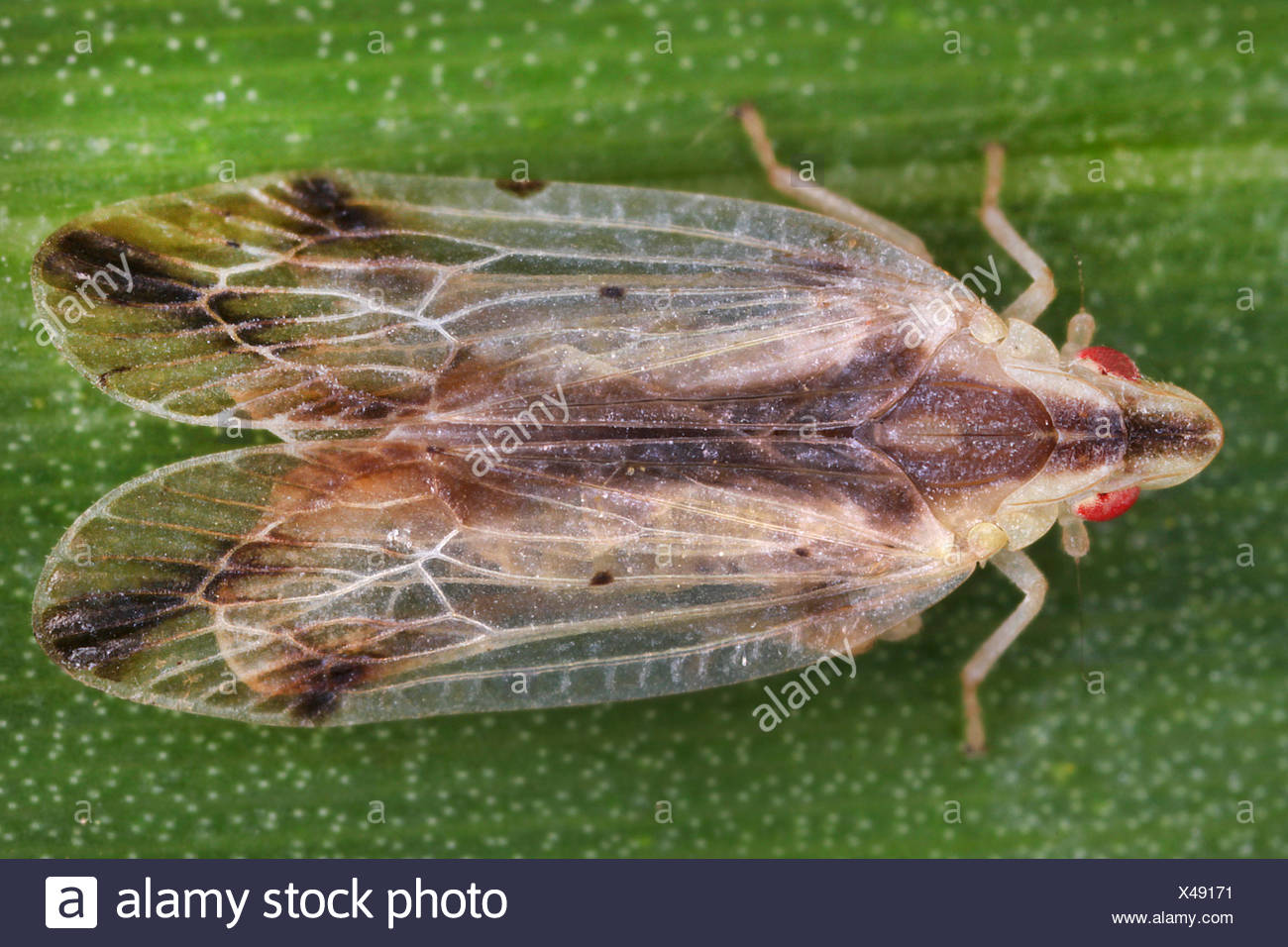 Mueckenzikade, Muecken-Zikade (Tropiduchidae), sitzt auf einem Blatt, Costa Rica | Tropiduchid planthopper (Tropiduchidae), sits - Stock Image